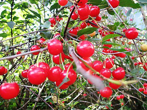 Cherries508