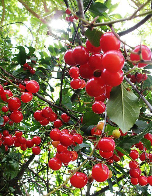 Cherries108