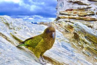 Alpine parrot